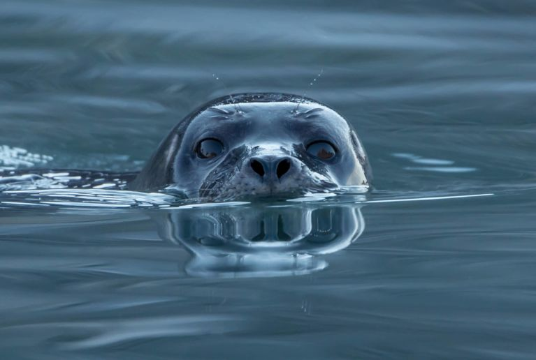 Harbor_seal_(Phoca_vitulina)_at_Magdalen_fjord,_Svalbard_(1)